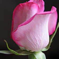 perfect-pink-rose-haleh-mahbod.jpg