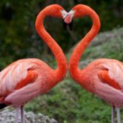 Flamingo-Heart-300x169.jpg