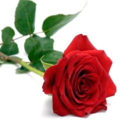 Red-Rose.jpg