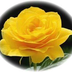 Yellow-Rose-300x250.jpg