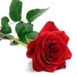 Red-Rose-300x229.jpg
